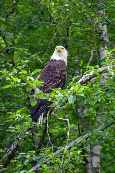 Eagle In Tree Art Print