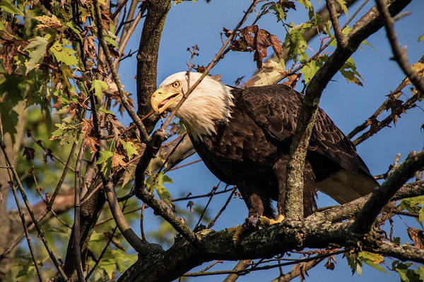 Photograph - Eagle In Tree by Don Johnson