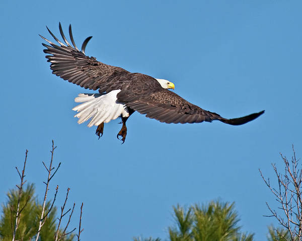 Photograph - Eagle Launch by Mike Covington