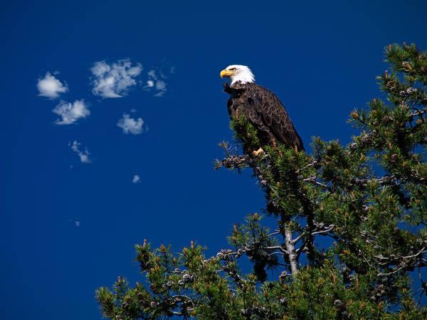 Bald Mountain Photograph - Bald Eagle by Leland D Howard