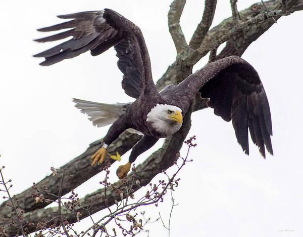 Photograph - Eagle On A Mission by Judi Dressler