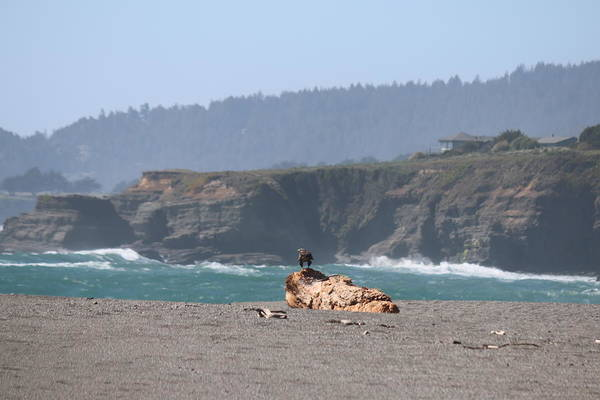 Photograph - Eagle On Driftwood  by Christy Pooschke