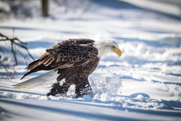 Bif Photograph - Eagle Out For A Stroll by Paul Freidlund