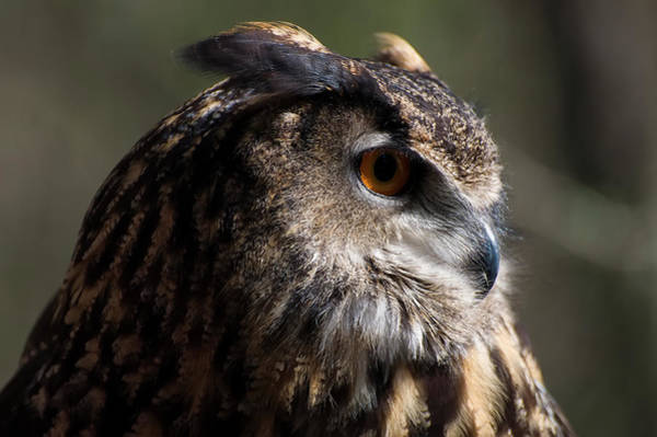 Photograph - Eagle Owl 4 by Chris Flees