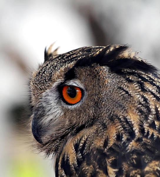 Wall Art - Photograph - Eagle Owl by Celestial  Blue