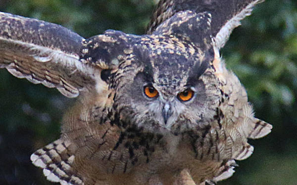 Photograph - Eagle Owl Close Up by William Selander