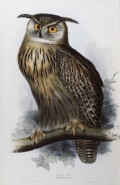 Wall Art - Painting - Eagle Owl by John Gould