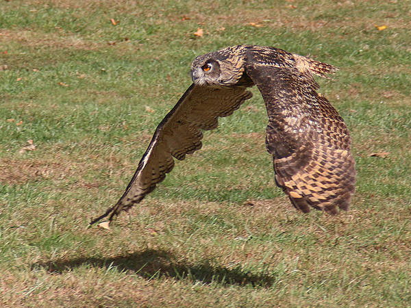Photograph - Eagle Owl On The Hunt 1 by William Selander