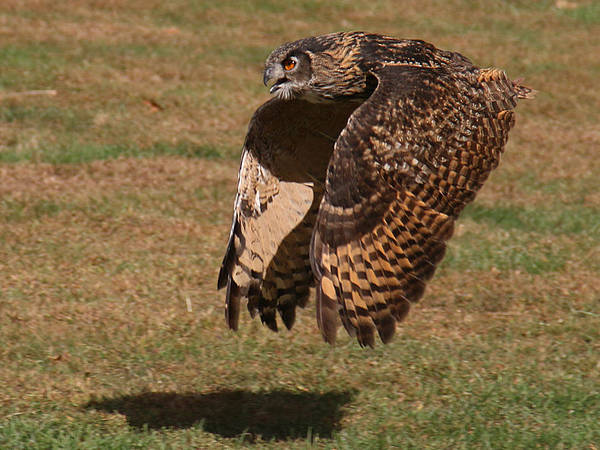 Photograph - Eagle Owl On The Hunt 2 by William Selander