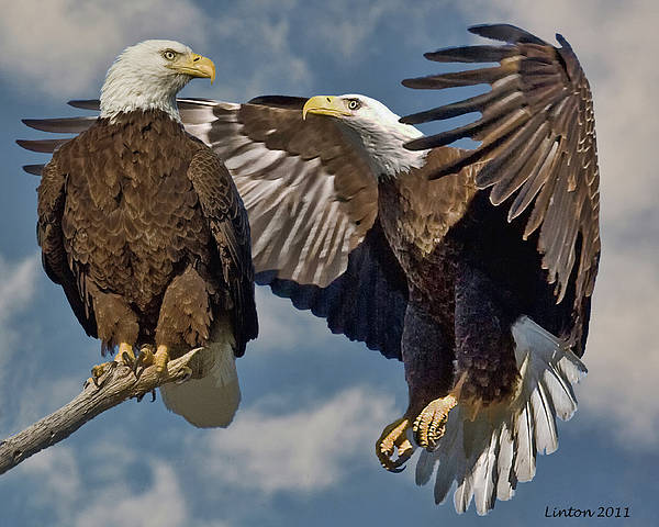 Photograph - Eagle Pair 3 by Larry Linton