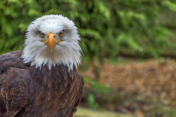Twitcher Wall Art - Photograph - Eagle Portrait. by Angela Aird