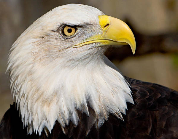 Photograph - Eagle Power by William Jobes
