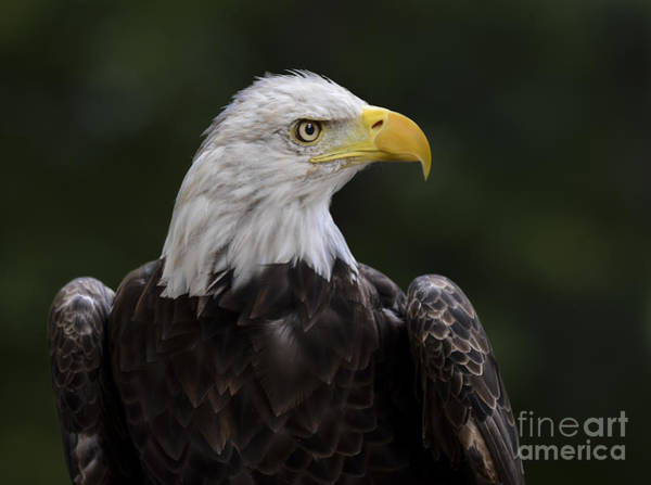 Photograph - Eagle Profile 2 by Andrea Silies