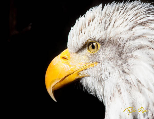 Photograph - Eagle Profile by Rikk Flohr