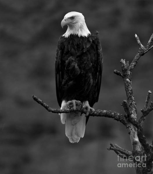 Photograph - Eagle Scout - Black And White by Adam Jewell