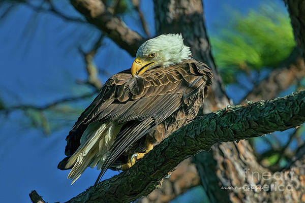 Photograph - Eagle Series Preening by Deborah Benoit