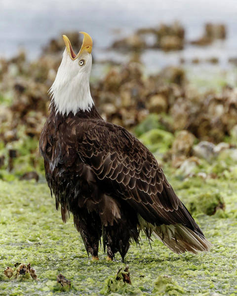Photograph - Eagle Song by Wes and Dotty Weber