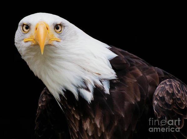 Photograph - Eagle Stare by Eyeshine Photography