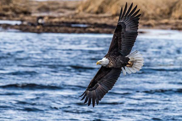 Bif Photograph - Eagle Swooping by Paul Freidlund