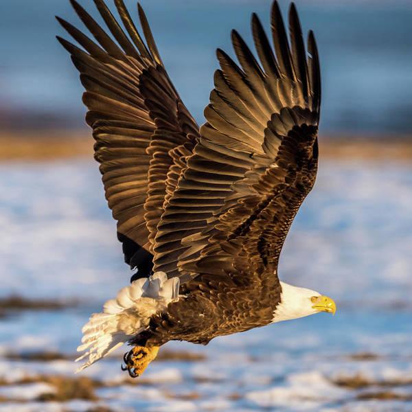 Bif Photograph - Eagle Taking Off by Paul Freidlund