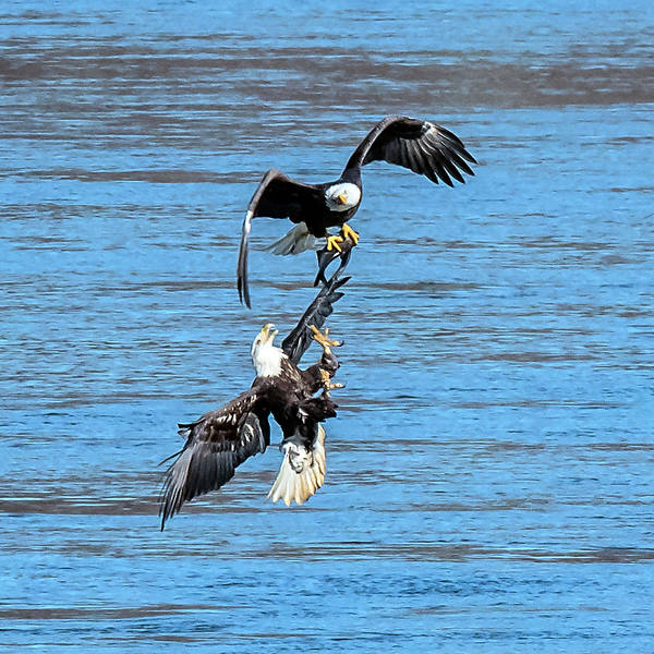 Photograph - Eagle Trying To Steal A Fish Mid-air  by William Bitman