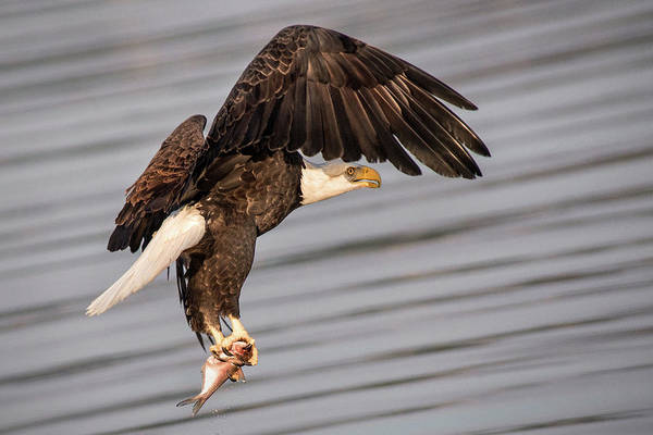 Photograph - Eagle With Fish by Don Johnson