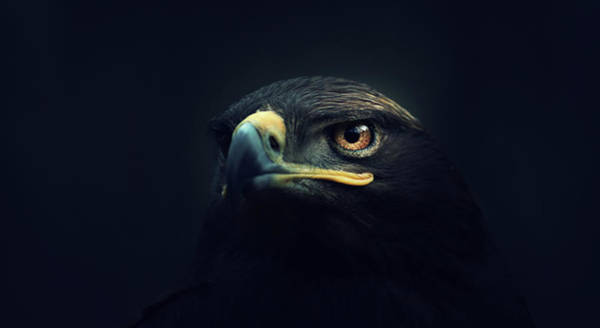 Brown Wall Art - Photograph - Eagle by Zoltan Toth
