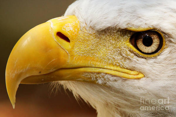 Photograph - Eagles Eyes by Sue Harper