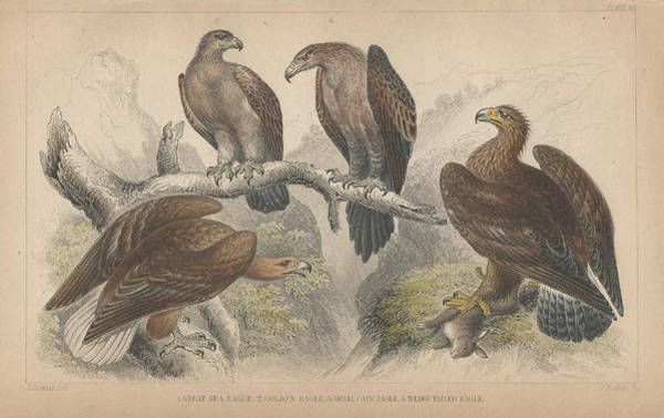 Wall Art - Drawing - Eagles by Dreyer Wildlife Print Collections