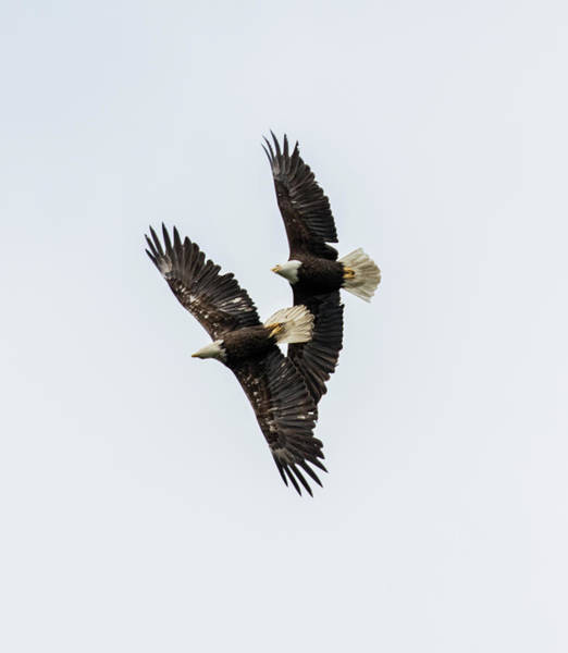 Photograph - Eagles Sparing by Gloria Anderson