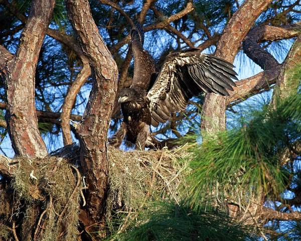 Photograph - Eaglet Finding Wings by Ronald Lutz