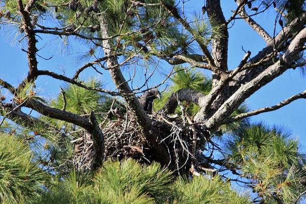 Photograph - Eaglet In Nest by Cynthia Guinn