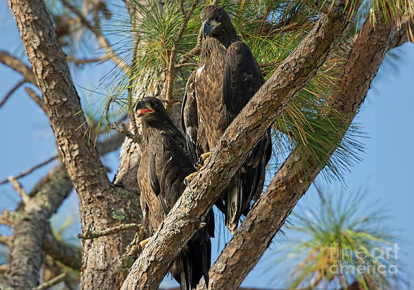 Wall Art - Photograph - Eaglet Pair by Deborah Benoit