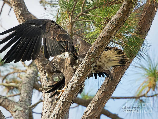 Wall Art - Photograph - Eaglet Wing Flexing by Deborah Benoit