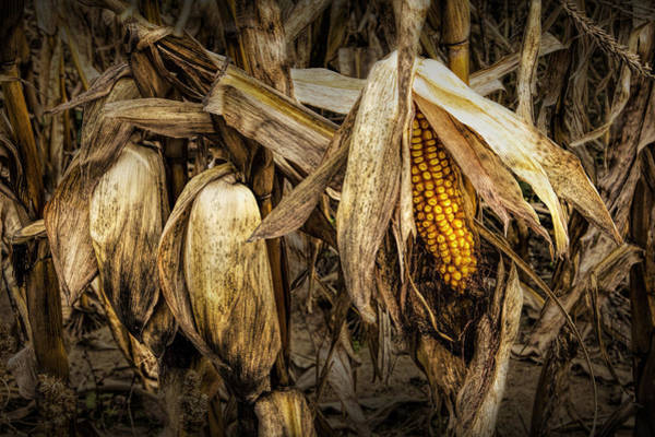 Photograph - Ear Of Corn On The Stalk Before The Harvest by Randall Nyhof