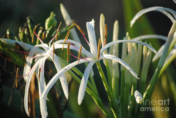 Early Morning Lily Art Print