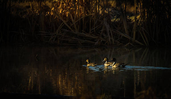 Heber Springs Photograph - Early Morning Pintails by TL Mair