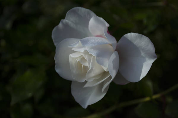 Photograph - Early Morning Rose by Dan Hefle