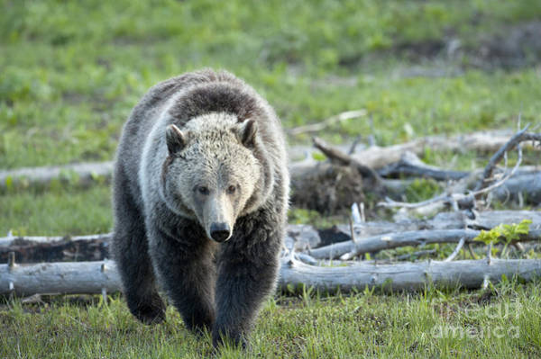 Grizzly Bears Photograph - Early  Morning Search by Sandra Bronstein