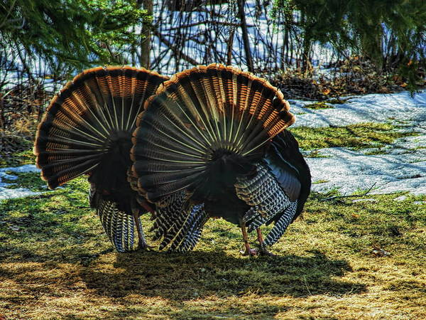 Photograph - Early Morning Strutting by Dale Kauzlaric