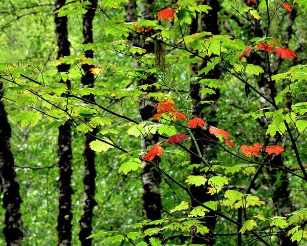Photograph - Early Red Fall by Jerry Sodorff