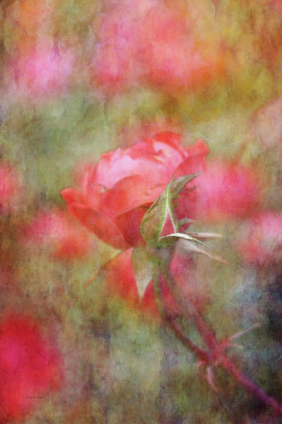 Photograph - Early Rose 9031 Idp_2 by Steven Ward