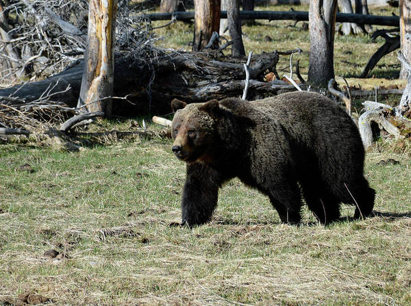 Photograph - Early Spring Grizzly On The Prowl by Bruce Gourley