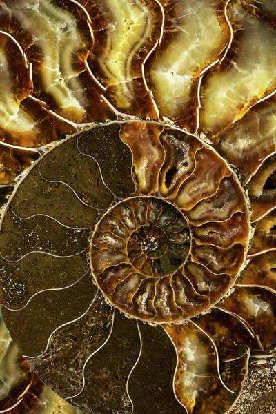Photograph - Earth Treasures - Brown And Yellow Ammonite by Jaroslaw Blaminsky