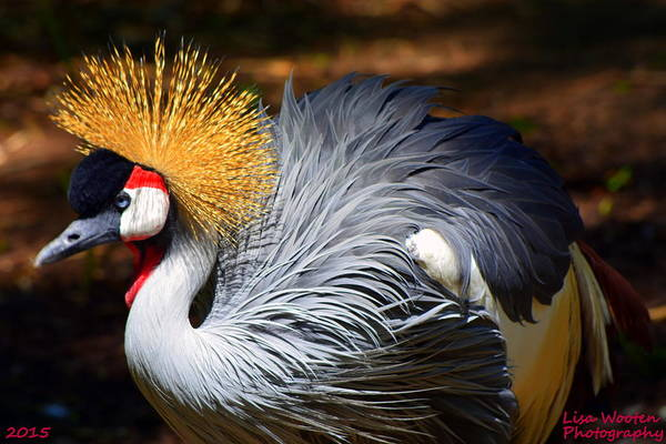 Photograph - East African Crowned Crane by Lisa Wooten