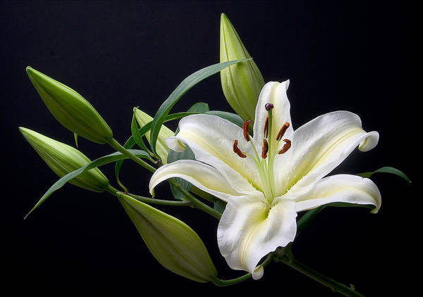 Easter Lily 3 Art Print