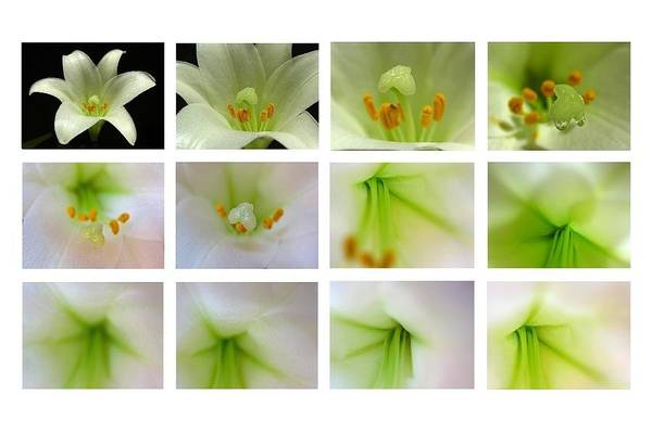 Photograph - Easter Lily Greetings by Juergen Roth