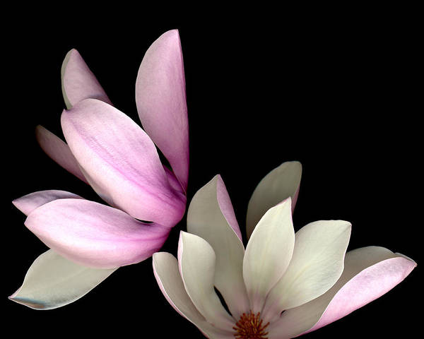 Photograph - Easter Magnolia by Deborah J Humphries