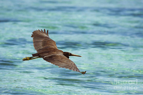 Adorn Photograph - Easter Reef Egret by Dave Fleetham - Printscapes