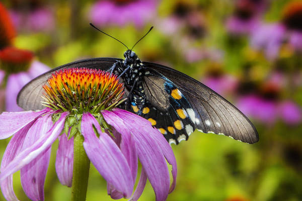 Photograph - Eastern Black Swallowtail Butterfly by Ken Barrett